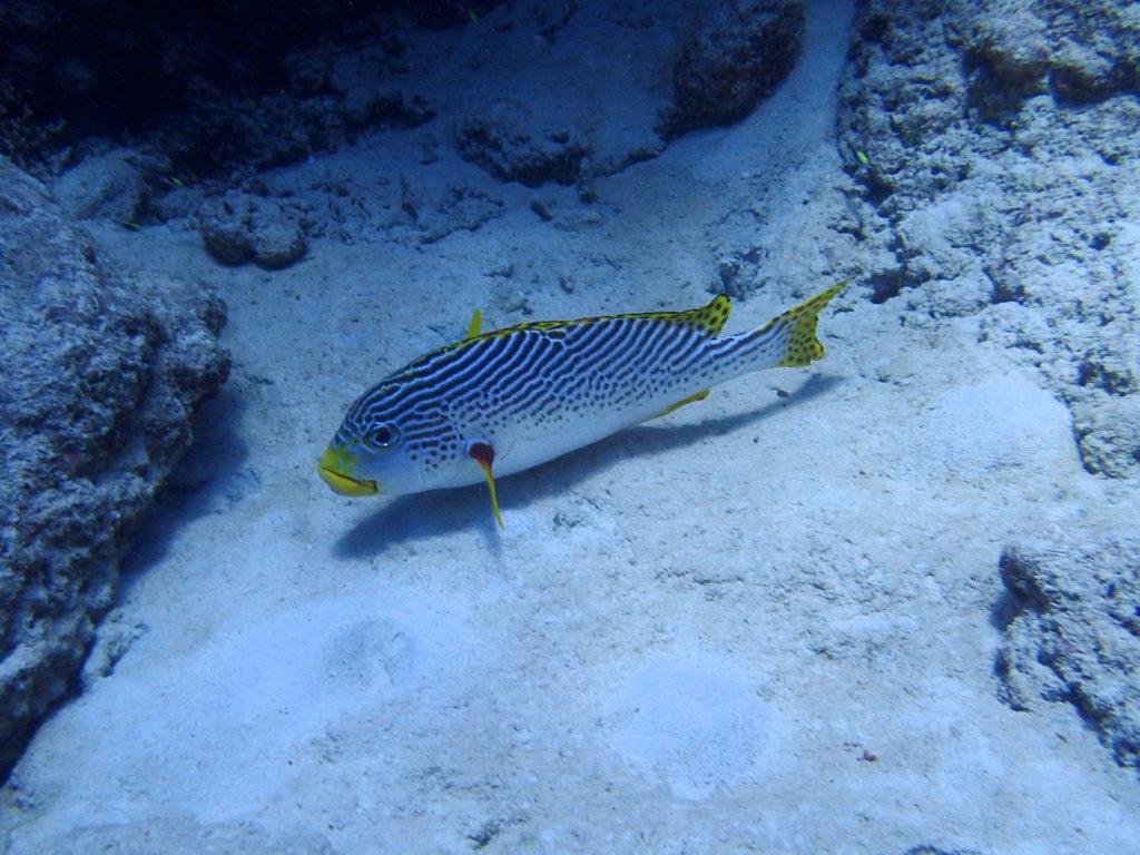 Plectorhinchus lineatus - Nouvelle-Calédonie, Passe de Boulari, Passe intérieure de Boulari