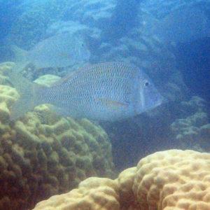 Lethrinus laticaudis - Nouvelle-Calédonie, Nouméa, Baie des Citrons
