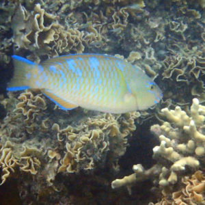 Poissons osseux » Poisson-perroquet » Scarus ghobban
