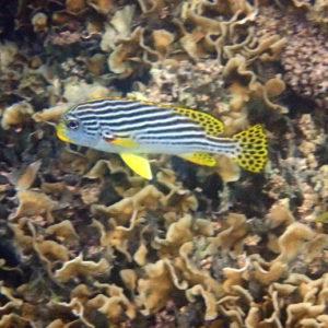 Plectorhinchus lineatus - Nouvelle-Calédonie, Nouméa, Baie des Citrons