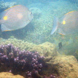 Poissons osseux » Picot » Siganus lineatus