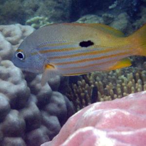 Lutjanus fulviflamma - Nouvelle-Calédonie, Nouméa, Baie des Citrons