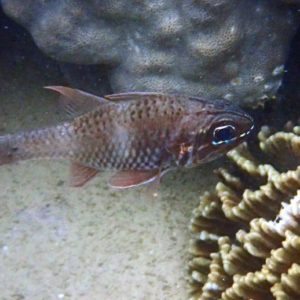 Poissons » Poisson-cardinal » Nectamia fusca