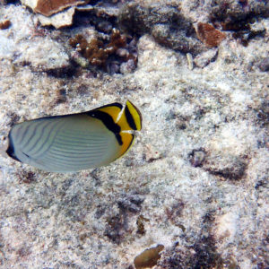 Poissons osseux » Poisson-papillon » Chaetodon vagabundus