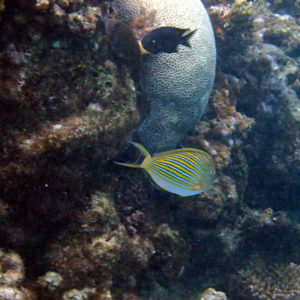 Poissons » Poisson-chirurgien » Acanthurus lineatus