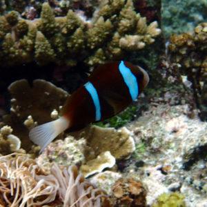 Poissons osseux » Poisson-clown » Amphiprion akindynos