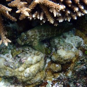 Exallias brevis - Nouvelle-Calédonie, Lifou, Baie de Jinek