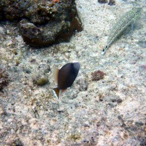 Poissons » Baliste » Sufflamen chrysopterum