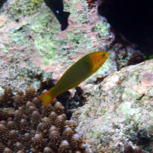 Poissons » Labre » Thalassoma lutescens