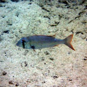 Gymnocranius superciliosus - Nouvelle-Calédonie, Lifou, Baie de Jinek