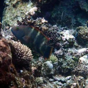 Poissons osseux » Labre » Cheilinus trilobatus