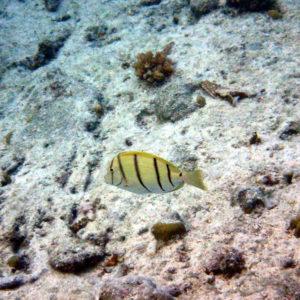 Acanthurus triostegus - Nouvelle-Calédonie, Lifou, Baie de Jinek