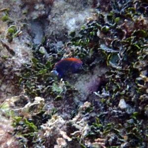 Poissons » Poisson-demoiselle » Pomacentrus bankanensis