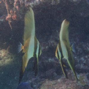 Platax orbicularis - Nouvelle-Calédonie, Lifou, Plage de Peng