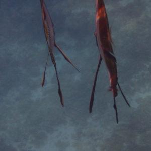 Poissons » Platax » Platax orbicularis