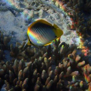 Poissons » Poisson-papillon » Chaetodon melannotus