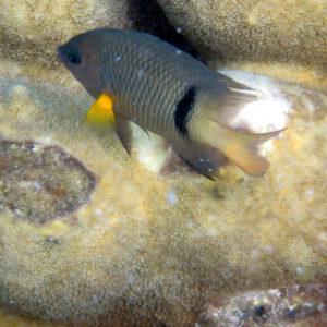 Poissons » Poisson-demoiselle » Plectroglyphidodon dickii