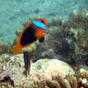 Poissons » Poisson-clown » Amphiprion melanopus