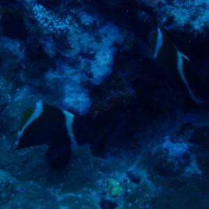 Poissons » Poisson-bannière » Heniochus varius