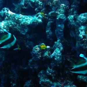 Poissons » Poisson-bannière » Heniochus chrysostomus