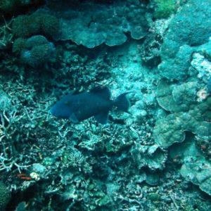 Pseudobalistes fuscus - Nouvelle-Calédonie, Bourail, Grand Coude de Kélé