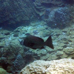 Poissons » Castex et grosses lèvres » Plectorhinchus chaetodonides