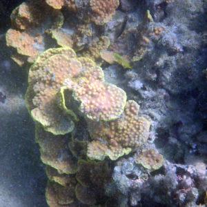 Cnidaires » Corail dur (scleractiniaire)