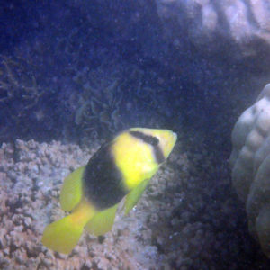 Poissons osseux » Poisson-savon » Diploprion bifasciatum