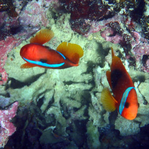Poissons osseux » Poisson-clown » Amphiprion melanopus
