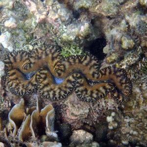 Mollusques » Bivalves » Bénitier