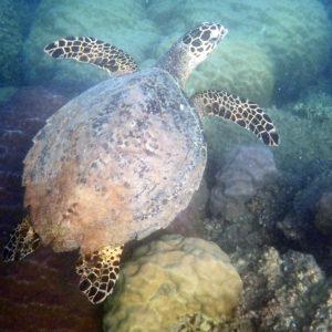 Tortue marine » Eretmochelys imbricata (Tortue imbriquée)