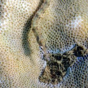 Poissons osseux » Poisson-pipe » Corythoichthys haematopterus