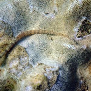 Poissons » Poisson-pipe » Corythoichthys haematopterus