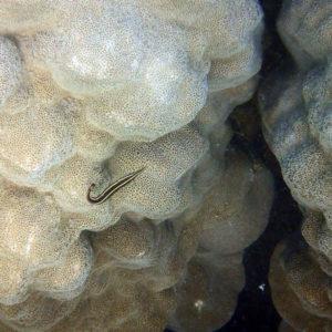 Poissons » Poisson d'oursins » Diademichthys lineatus