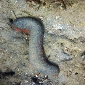 Échinodermes » Holothurie » Holothuria (Halodeima) edulis