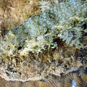 Poissons » Poisson-lézard » Saurida gracilis