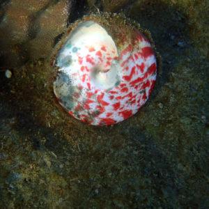 Mollusques » Gastéropodes » Trocas » Tectus pyramis