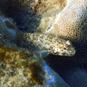 Poissons osseux » Gobie » Istigobius decoratus