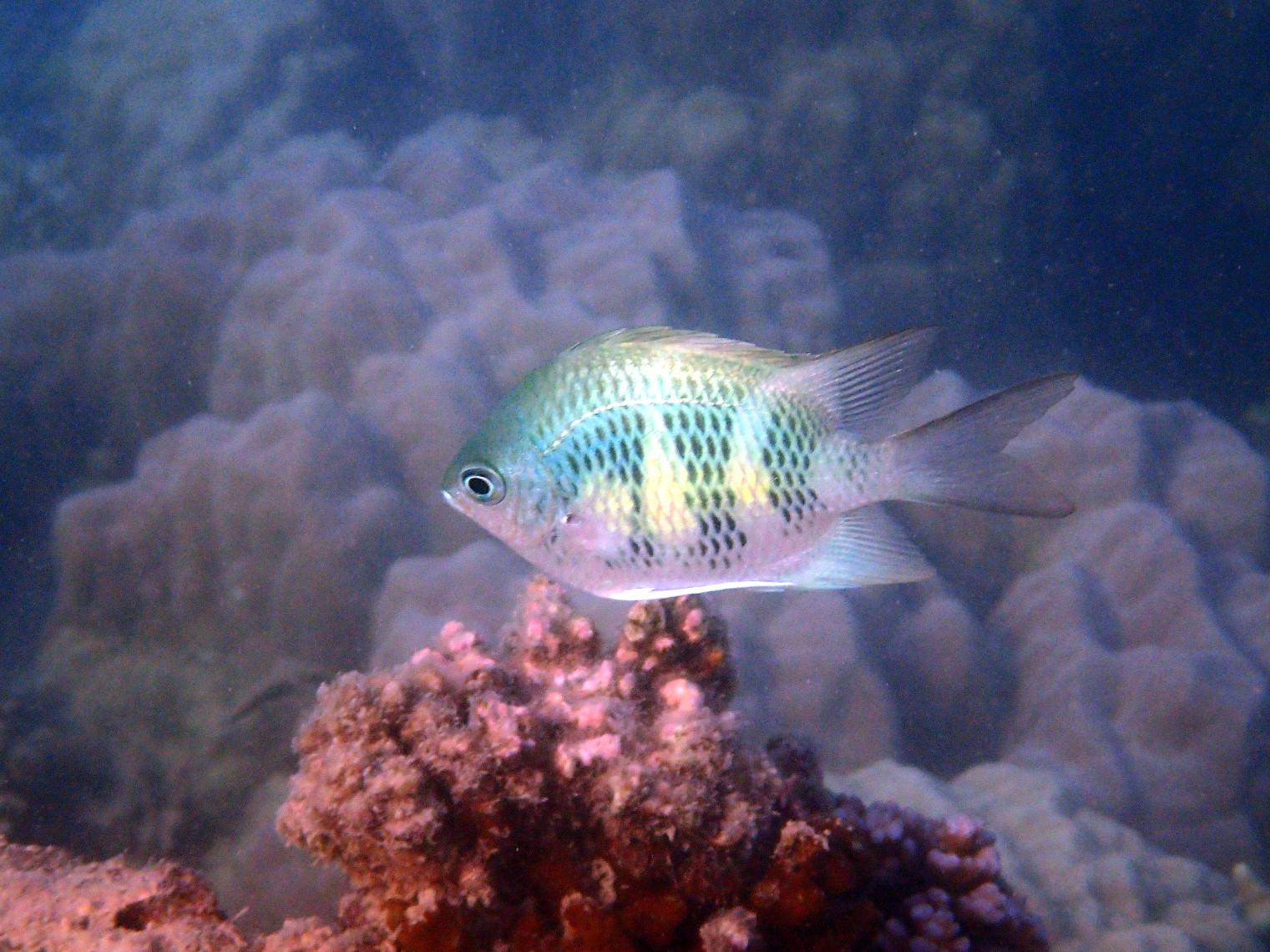 Amblyglyphidodon curacao - Nouvelle-Calédonie, Nouméa, Baie des Citrons