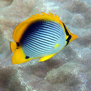 Poissons osseux » Poisson-papillon » Chaetodon melannotus