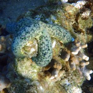 Échinodermes » Étoile de mer » Linckia Multifora