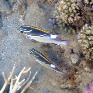 Scolopsis bilineata - Nouvelle-Calédonie, Nouméa, Baie des Citrons