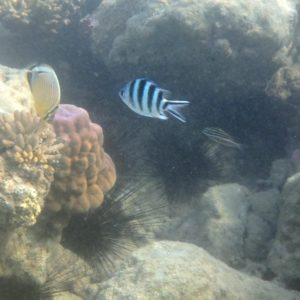 Poissons » Sergent-major » Abudefduf sexfasciatus
