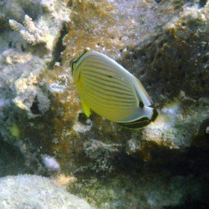 Poissons » Poisson-papillon » Chaetodon lunulatus