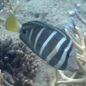 Zebrasoma velifer - Nouvelle-Calédonie, Nouméa, Baie des Citrons