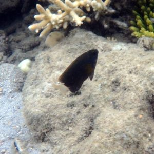 Poissons » Poisson-demoiselle » Chromis margaritifer