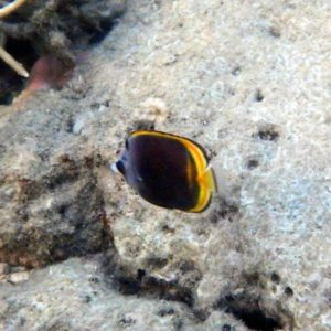 Poissons » Poisson-papillon » Chaetodon flavirostris