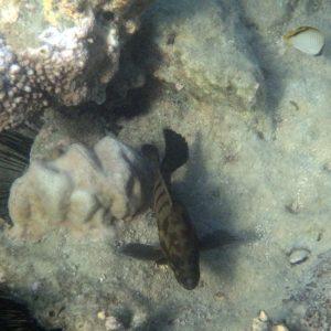 Poissons » Loche » Cephalopholis boenak