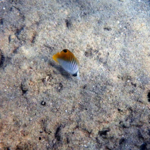 Poissons » Poisson-papillon » Chaetodon auriga