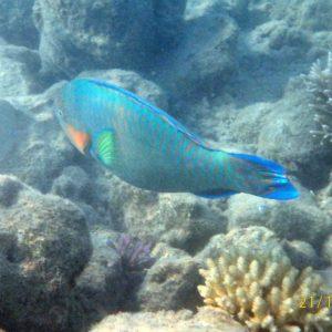 Poissons » Poisson-perroquet » Scarus psittacus